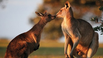 350x200_Spicers-Peak-Lodge-kangaroo.jpg